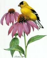 Goldfinch by Judy Mizell