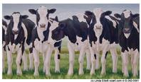 Line of Holstein cows