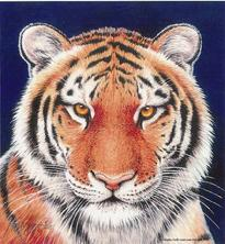 Tiger, portrait
