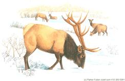 elk, snow, winter